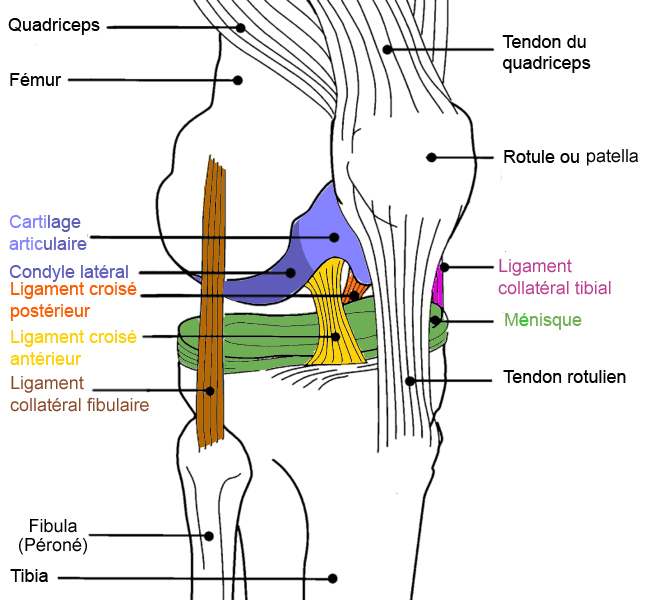 diagramme_genou_couleur_ortho